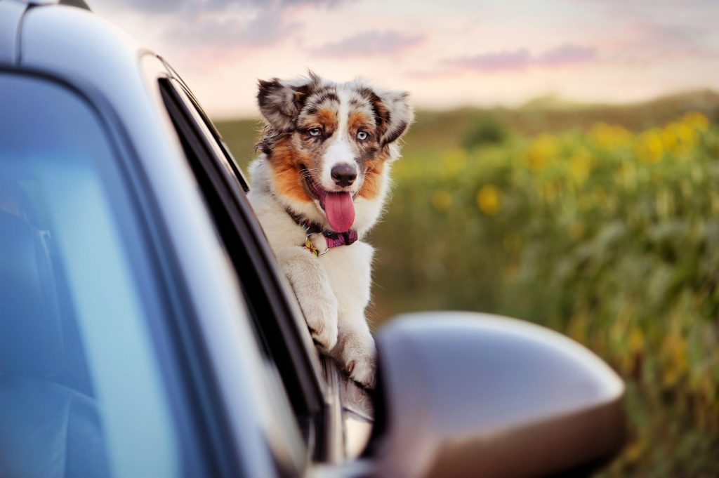 Aussie Pups can be delivered by vehicle.