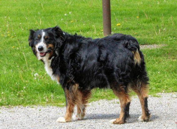 Lassie (2)